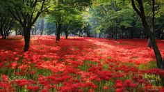 Tiger Seo Photography. Flowery hill - Red Spider Lily habitat in Korea.