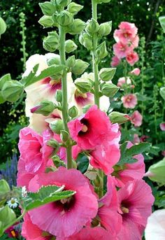 A biennial or short lived perennial, flower gardeners enjoy growing hollyhocks in borders or against walls where the striking flowers stand above all else.