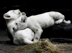 Filhotes de leão branco brincam em zoo de Buenos Aires  Foto: Leo La Valle/EFE