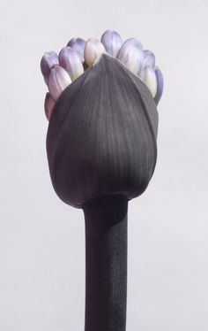 Emergent African lily (Agapanthus africanus) - by Elena Lapeña Agapanthus Africanus, Nature Plants, Arte Floral, Seed Pods, Natural Forms, Trees To Plant, Mother Nature, Beautiful Flowers, Dark Flowers