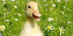 Ban the trade of foie gras in the UK