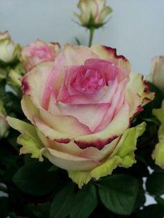 Whimsical Cezanne Rose.