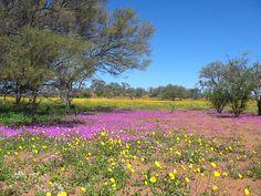 Wooleen Station Western Australia   Wildflowers – Wooleen Station