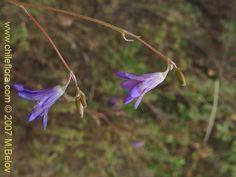 Image of Conanthera campanulata (). Click to enlarge parts of image.
