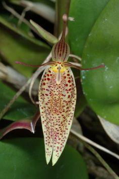 Restrepia species 7