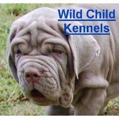 The makings of a nice Neo-A Wild Child, Neapolitan Mastiff Breeder in Nashville, Tennessee ...
