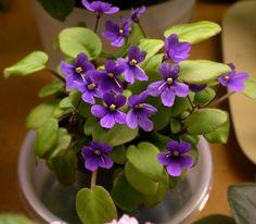 Captain Cook - Mini African Violets
