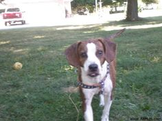 1000 Images About Beagle Mix On Pinterest Beagle Mix