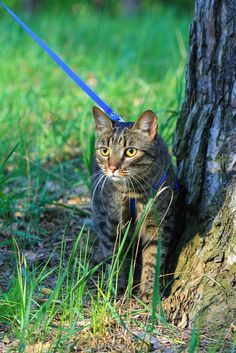 You take your dog for a walk... Why not your cat? Tips for walking your cat on a leash