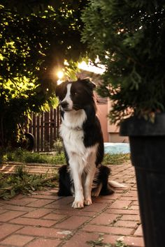 Border Collie Sunset or sunrise? More from my Top Border Collie Pictures, Photos and Images – Getty Foods Your Border Collie Should Never EatLola All Dogs, I Love Dogs, Best Dogs, Cute Dogs, Dogs And Puppies, Doggies, Border Collie Colors, Border Collie Mix, Saarloos