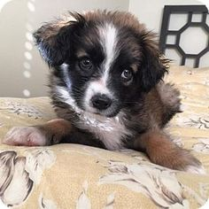 3/28/15 Marina Del Ray, CA - Bernese Mountain Dog/Australian Shepherd Mix. Meet Brisket, a puppy for adoption. http://www.adoptapet.com/pet/12658355-marina-del-ray-california-bernese-mountain-dog-mix