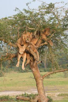 Löwen im Baum