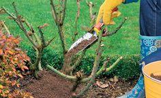 10 Bio-Tipps für gesunde Rosen Especially freshly planted roses are grateful for a mulch cover in th Outdoor Sheds, Outdoor Gardens, Rosen Beet, Organic Horticulture, Design Jardin, Organic Roses, Organic Gardening Tips, Natural Garden, Plantation