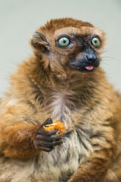 It looks like this female Sclater's lemur saw a ghost while eating. by Tambako the Jaguar on Flickr.