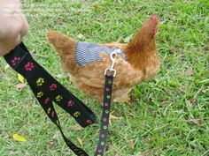 walk your chicken : )  I am just ridiculous enough to do this