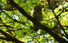 Look whoo 'Mathias' found at Tolmie State Park!