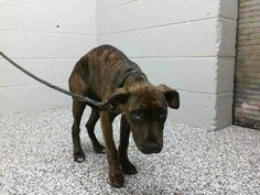 VERY VERY URGENT! ANGEL - ID #A461881 (MUST EXIT ON 3/8). I'm a female, brown brindle/white Pit Bull Terrier only 4 MONTHS OLD! For more info about this animal, call: San Bernardino City Animal Control (909) 384-1304 Ask for info about animal ID #A461881 http://www.petharbor.com/pet.asp?uaid=SBCT.A461881 San Bernardino City Shelter  333 Chandler Pl.,  San Bernardino, CA 92408