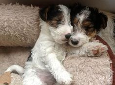 Pedigree KC Registered Wire Fox Terrier Puppies in London,