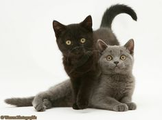 British Shorthair blue kitten, Taz, and British Shorthair black kitten, Panther, 7 weeks old.