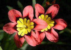 Ficha de la Sparaxis tricolor | Cuidar de tus plantas es facilisimo.com