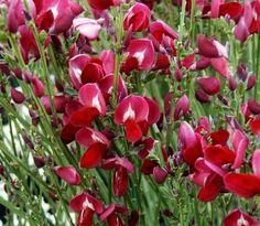 Brem - Cytisus 'Boskoop Ruby' Garden Inspiration, Garden Plants, Plants, Succulents, Spring, Green, Display, Bremen, Lawn And Garden