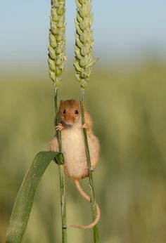 The harvest mouse, Micromys minutus, is a small rodent native to Europe and Asia. It is typically found in fields of cereal crops such as wheat and oats, in reed beds and in other tall ground vegetation. by Ben Andrew