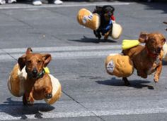 doxie dog race!