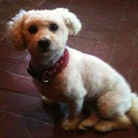 ► Bichon Frise Rescue Bichon Frise Rescue, Post Animal, Little Dogs, Adoption, Puppies, Mississippi, Colorado, Texas, Animals