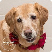 Adopt A Pet :: Honey - Troy, OH