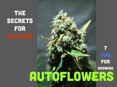 Want to maximise results from an autoflowering cannabis grow? Here are our top tips to growing autos Growing Weed, Cannabis Growing, Growing Marijuana Indoor, Cannabis Edibles, Cannabis Oil, Marijuana Plants, Medical Cannabis, Growing Flowers, Ganja