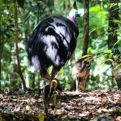 We were lucky enough to spot a #cassowary daddy and his two stripey chicks in the #daintreerainforest. We were also lucky that Gaz wasn't destroyed by the 'most dangerous bird on the planet' as he stalked them through the undergrowth #daredevil #attenborough #endangeredspecies