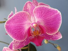 Phalaenopsis Orchid Meaning - Love And Affection. Phalaenopsis or also known under the name of moth orchids, are abbreviated in the horticultural trade as Phal, being an orchid genus of approximately 60 species. This type of orchid usually comes in the color of pink. Pink is associated with love and affection. It is also a sign of admiration and caring due to its vibrant and perfect colors.