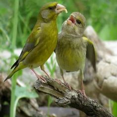 Beautiful Birds, Animals Beautiful, Goat Fence, Greenfinch, Goldfinch, Squirrel, Finches, Painting, Photos