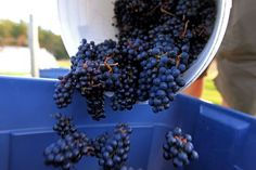 Petite Rivière Vineyards grows elegant, complex wines in a sunny microclimate on Nova Scotia's South Shore.  The LaHave River Valley Wine Region is recognized as one of the earliest grape. Nova Scotia, Wines, Vineyard, Fruit, Food, Vineyard Vines, Meals