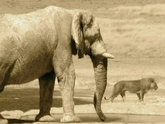 It's an elephant and there's a lion in the background. Sepia.