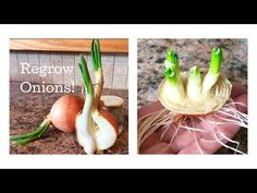 Best vegetables & herbs to regrow from kitchen scraps in water or soil. Start a windowsill garden indoors, or grow foods using grocery lettuce, beets, etc! Growing Vegetables In Pots, Regrow Vegetables, Home Grown Vegetables, Planting Vegetables, Growing Herbs, Herb Garden In Kitchen, Veg Garden, Edible Garden, Fruit And Vegetable Storage