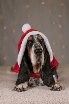 Christmas Basset Hound – Look at that drool! Basset Puppies, Dogs And Puppies, Christmas Animals, Christmas Cats, Christmas Things, Merry Christmas, Pet Dogs, Dog Cat, Doggies