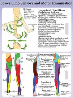 lower extremity dermatomes and myotomes - Google Search