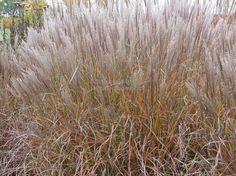 """Miscanthus sinensis """"Kleine Silberspinne"""""""