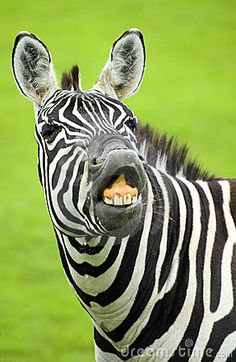 Photo about A portrait of a zebra showing its teeth. Image of teeth, mammal, grinning - 5683794 Animals And Pets, Funny Animals, Zebra Drawing, Funny Cute, Hilarious, Zebra Pictures, Love And Respect, Zebras, How Are You Feeling