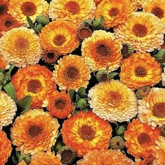 Calendula, Pink Surprise | Ruffled gold and yellow flowers with pink tinge on 18-24 inches tall annual flowers