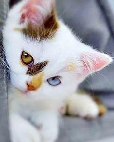 Ragdoll Cat Breed, Ragdoll Kittens, Cute Cats And Kittens, Baby Cats, I Love Cats, Cutest Kittens Ever, Adorable Kittens, Cute Pets, Kitten Love