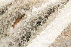 Atlantic Salmon by Kirk Norbury, via 500px