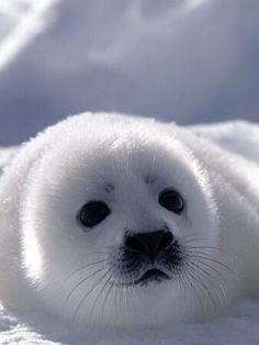 Little Harp Seal ~ SO BEAUTIFUL, SWEET.  STOP KILLING SEALS!!!!!!!
