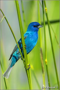 Indigo Bunting | Flickr - Photo Sharing!