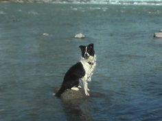 """Border Collie Cindy """"Ich kann über´s Wasser gehen!""""   #Hund: Cindy / #Rasse: Border Collie      Mehr Fotos: https://magazin.dogs-2-love.com/foto/border-collie-cindy-6/ Foto, Hund"""