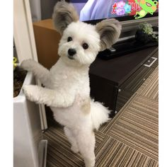 A little cute dog named Goma has recently found internet fame because of her one feature—her ears! The four-year-old mix of #maltese and Papillon breeds has fluffy gray ears that are as tall as her head. Their scale, in addition to their rounded shape, has affectionately earned her the nickname of Mickey Mouse Dog.