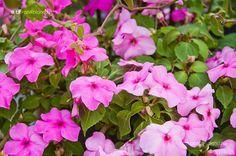 Törpe Nebáncsvirág (Impatiens Walleriana) gondozása, szaporítása (Pistike, Vízifukszia) Plants, Garden, Shade Garden, Rose, Flowers, Garden Planning