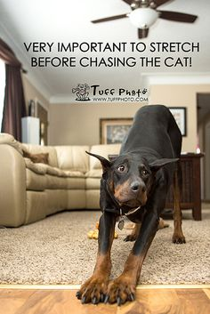 Important to stretch before chasing the cat!! #Doberman
