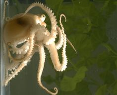 Scientists just sequenced the octopus genome for the first time ever. A juvenile California two-spot octopus, the first octopus species to have its genome sequenced. Kraken, Human Dna, Interesting Animals, Alien Creatures, Science Photos, Marine Biology, Freak Out, Fauna, Tentacle